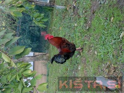 Marans kokoši